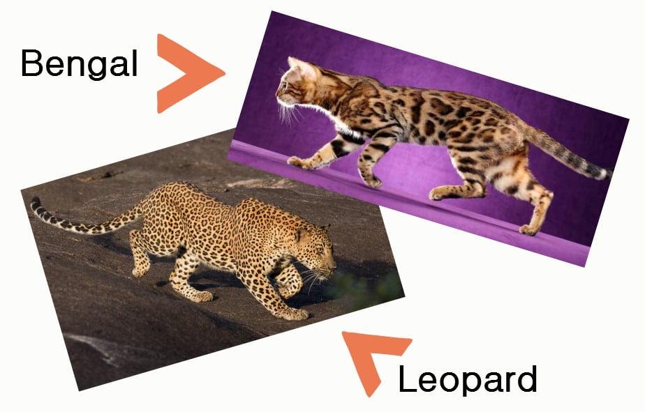 Domestic cat that looks like a leopard