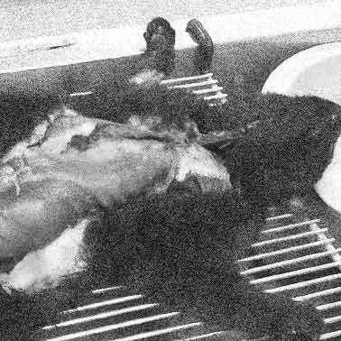 Cat autopsy