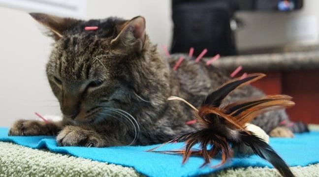 Feline acupuncture