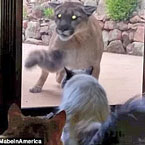 Introducing Mountain Lions to Eastern America Could Save Human Lives