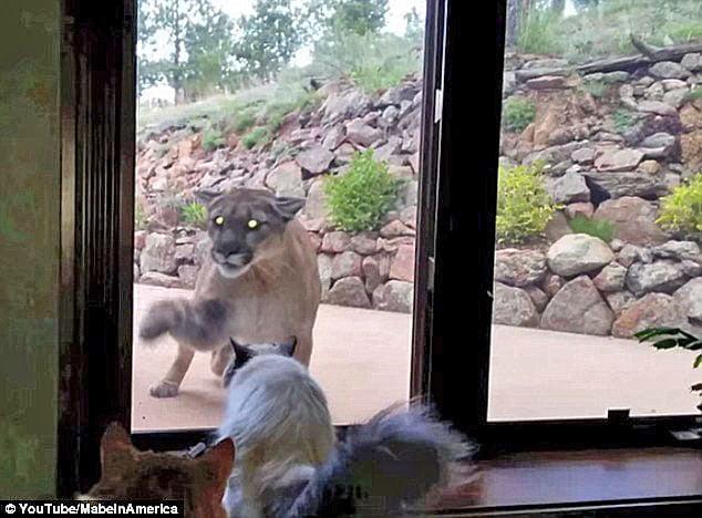 Mountain lion Meets Himalayan