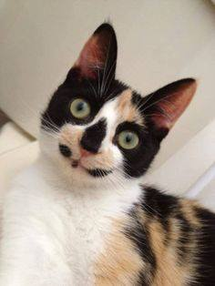 Calico cat with strange face