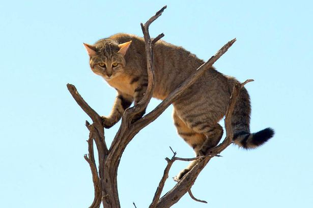 Can A Tabby Cat Look Up When Jumping Down