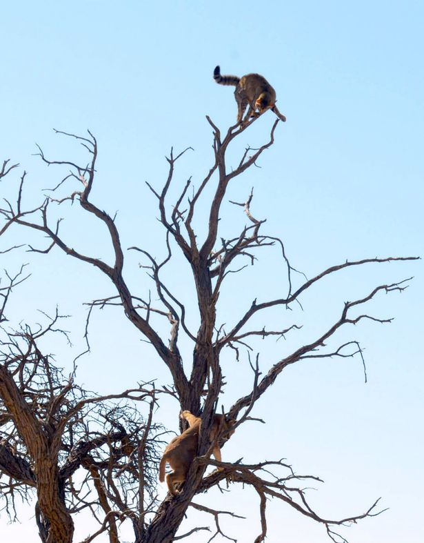 wildcat chased by caracal