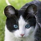Cat with Mickey Mouse ears