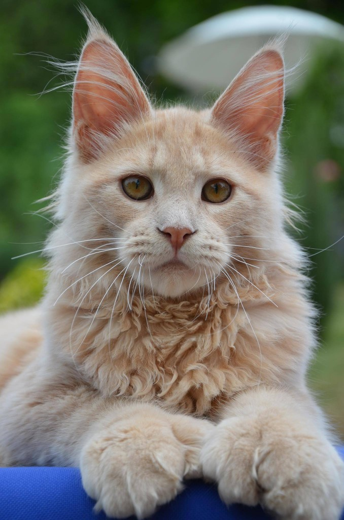 Pale ginger tabby Maine Coon