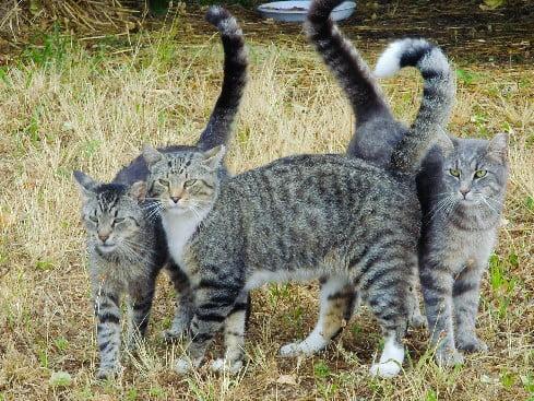 Tabby cat colony