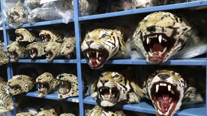 Stuffed heads of big cats poached