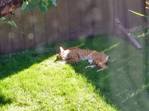 Bobcat backyard 3