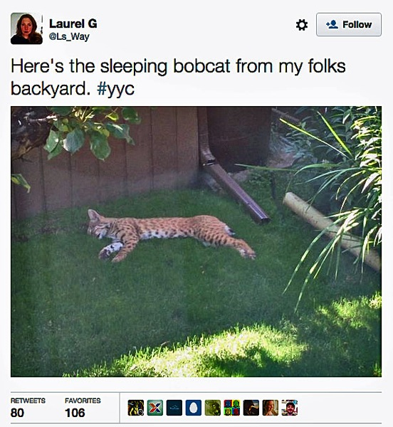 Bobcat backyard