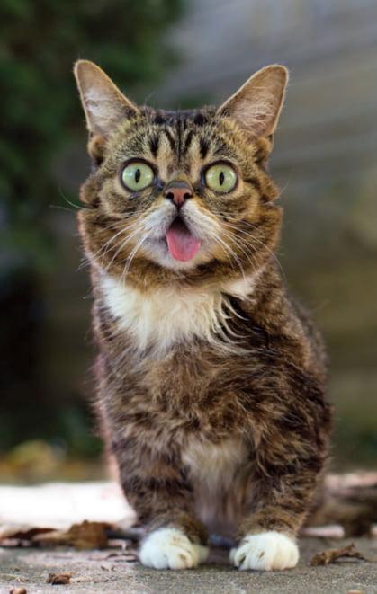 Lil BUB celebrity cat