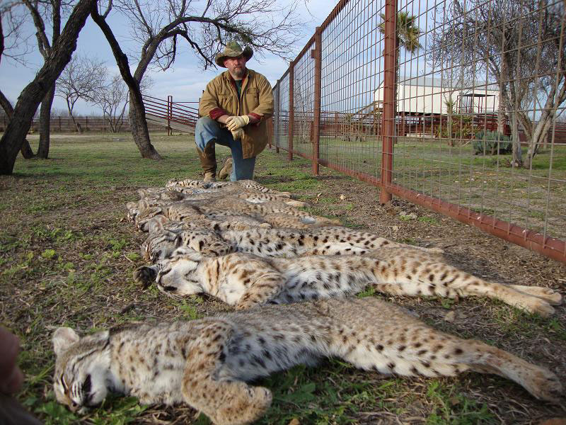 Bobcat Trapper
