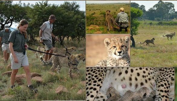 Kwa Cheetah
