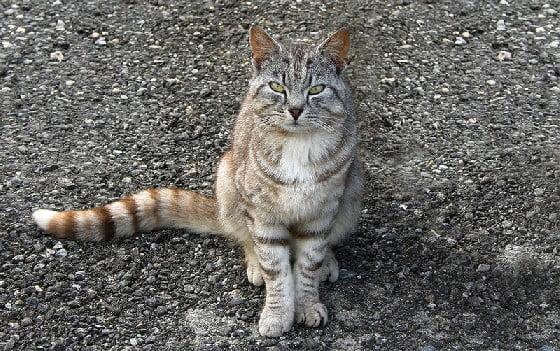 Norwegian stray cat