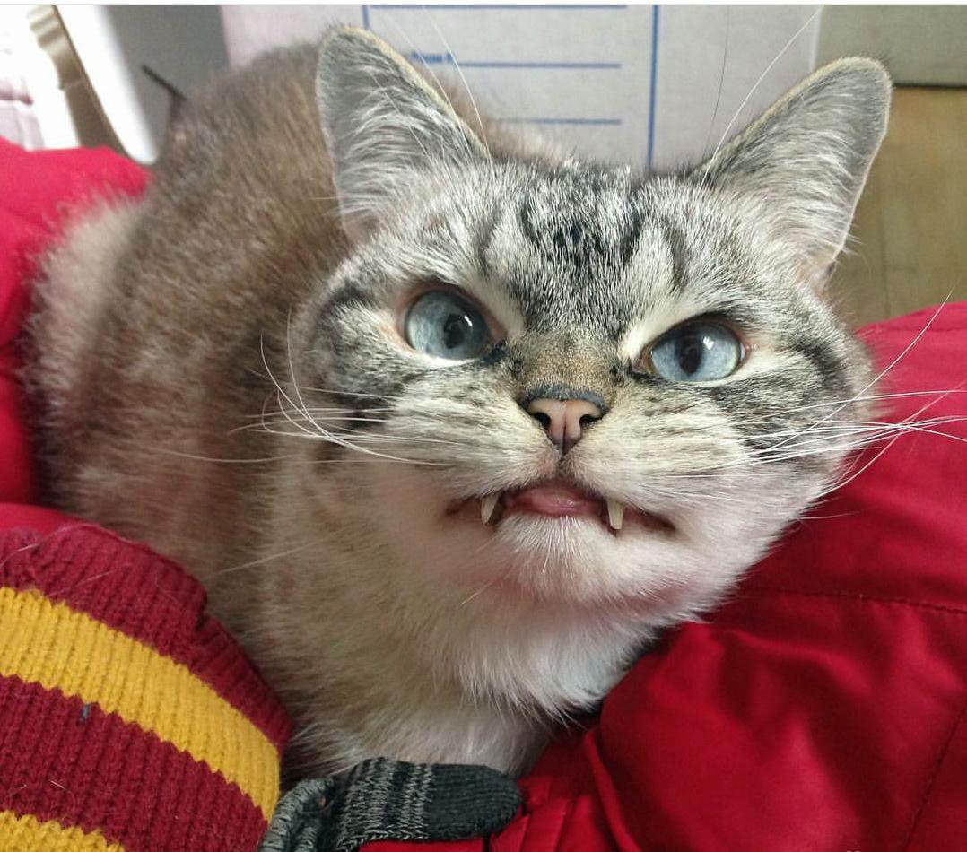 Vampire Cat Loki
