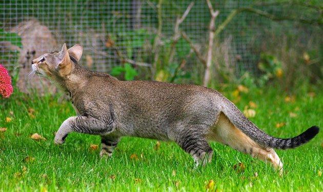Poljun cat breed