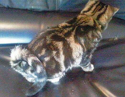 Dutch Ringtail Cat