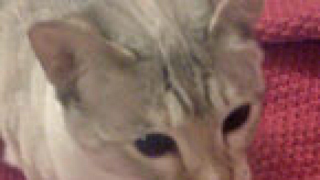 Siamese Cat With Black Eyes – PoC