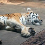 Tiger in Chinese Zoo