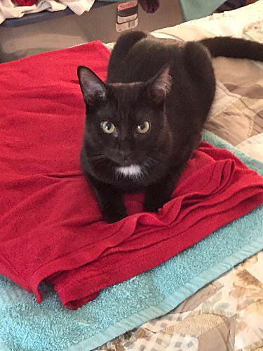 Edgar Allen Poe - a black rescue cat