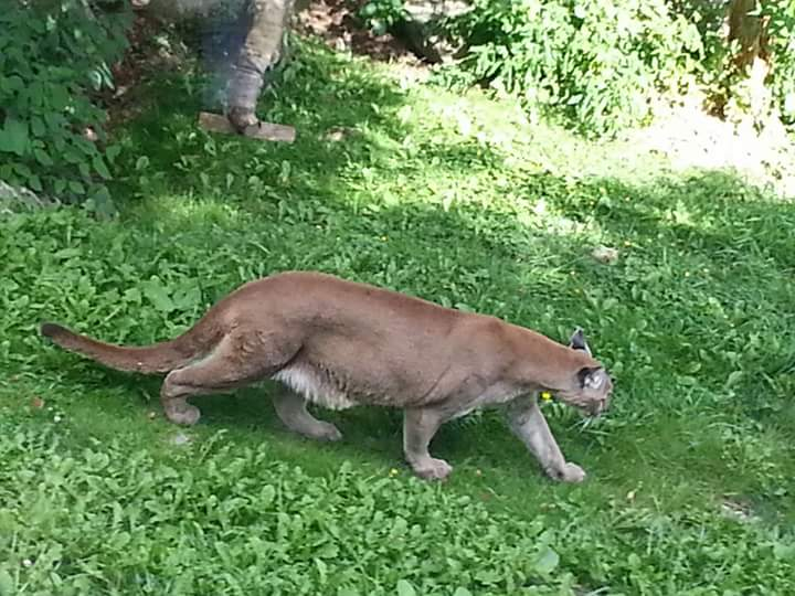 "Cougar, aka Mountain Lion and Puma (""Puma"" is the more scientific name)."