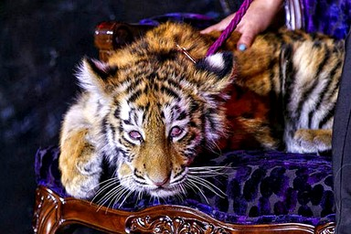 Drugged Siberian tiger cub