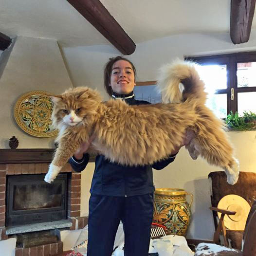Massive Maine Coon