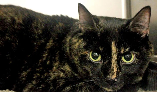 Miley declawed owner surrender at Greenville County Animal Care in Upstate SC