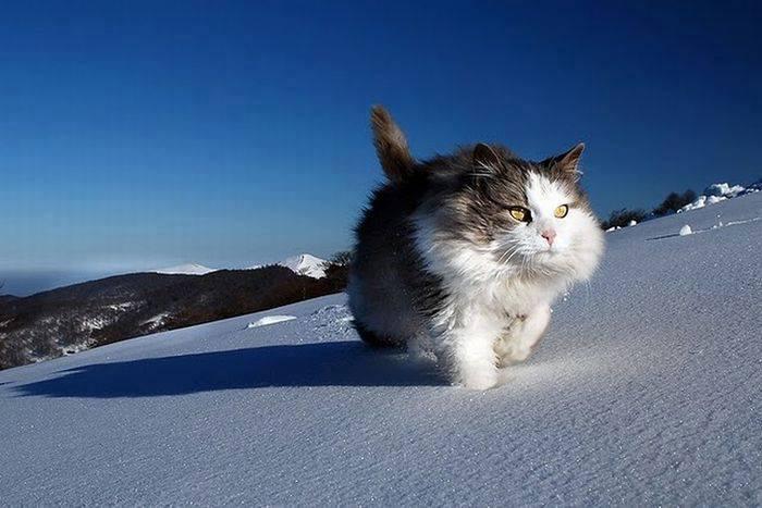 Cat on a trek in snow