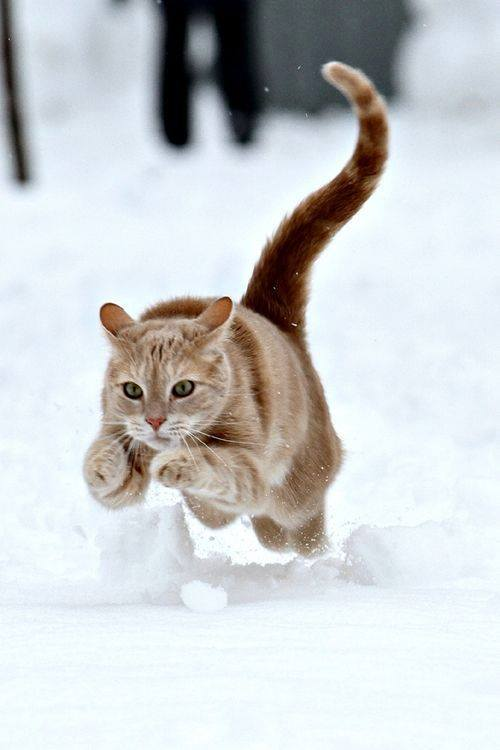 Cat pouncing in snow
