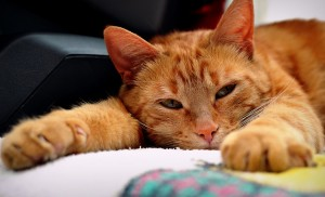 Beautiful red tabby cat