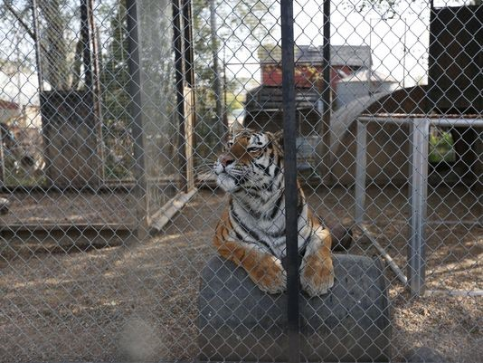 Tiger at Cricket Hollow Zoo