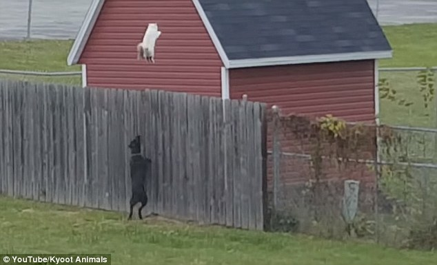 Cat escapes dogs