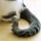 Do cats dislike having their tails petted?  Learn the opinion of a research team