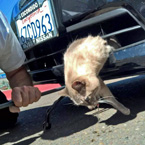 Cat trapped in grill of car above bumper