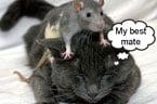 Rat and Cat Friends