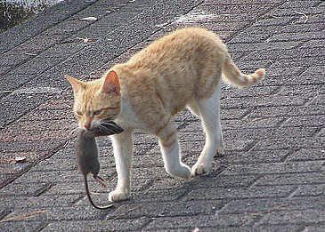 Cat gets rat