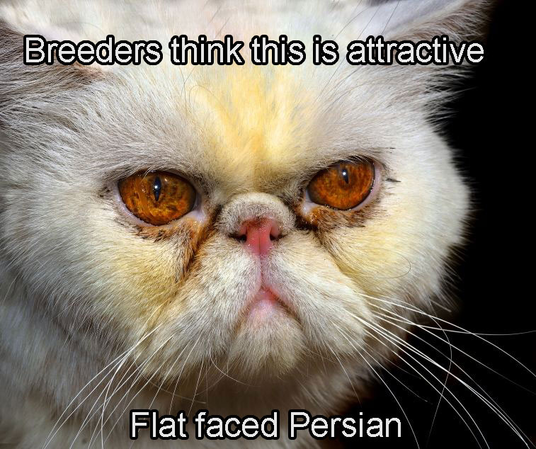 Flat-faced Persian looking horrible.