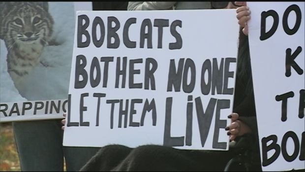 Protest over Bobcat hunting