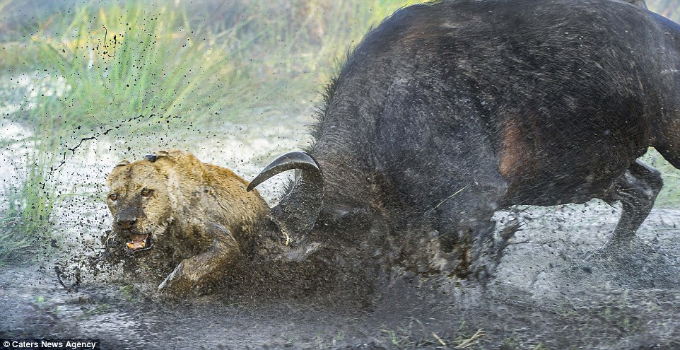 Lioness killed by male buffalo