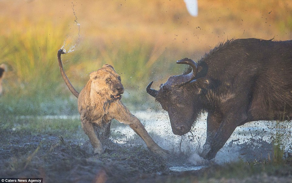 Lioness killed by male buffalo1