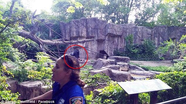 The gorilla enclosure