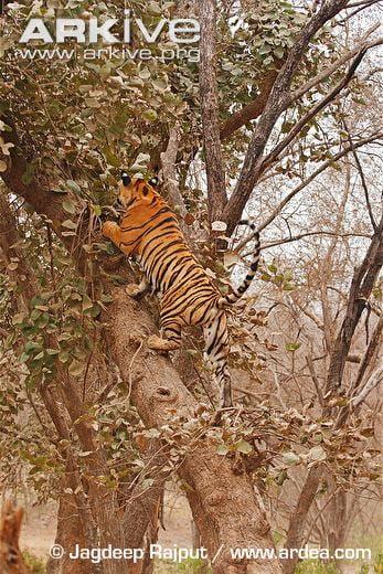 Tiger Climbing Tree