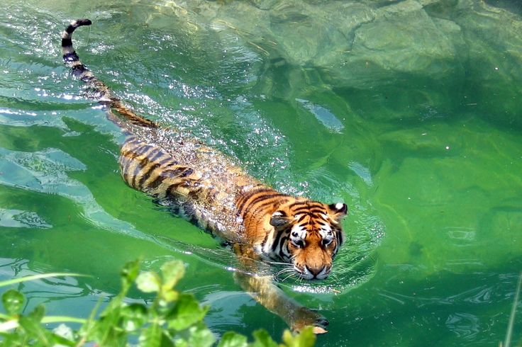 Can tigers swim and can tigers climb trees?