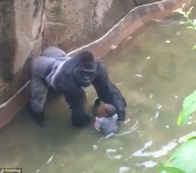 gorilla holds the boy's hand protectively