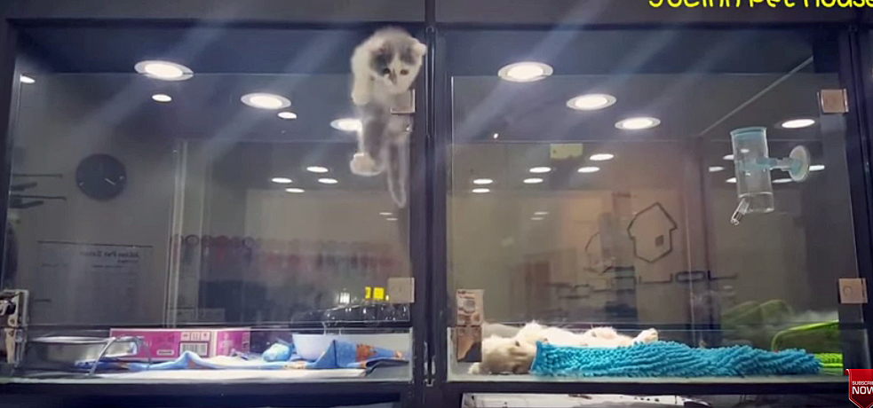 Pet store kitten climbs out of cubicle to meet puppy