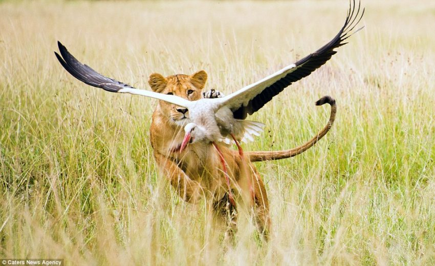 Lioness Zama captures and kills stork
