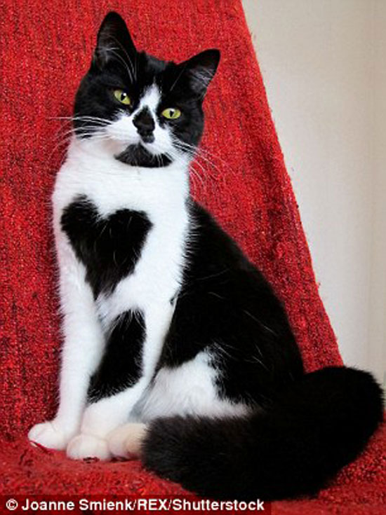 Zoe - cat with heart shaped marking on her chest