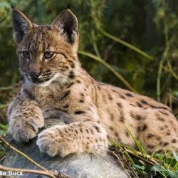 Beautiful Eurasian lynx