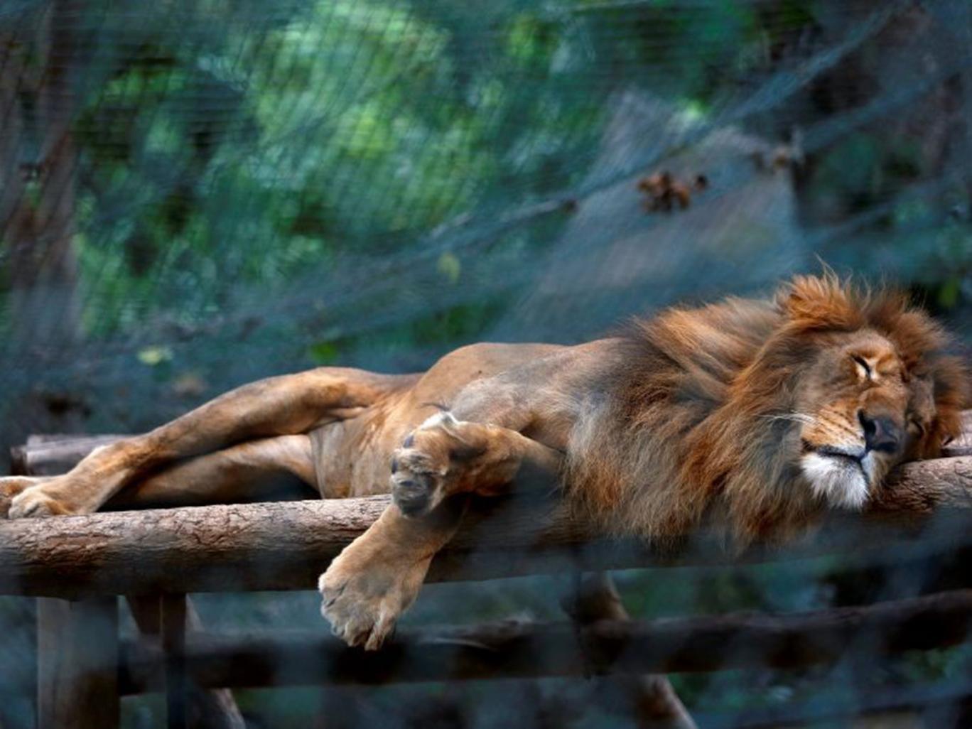 Lion in venezuelan zoo